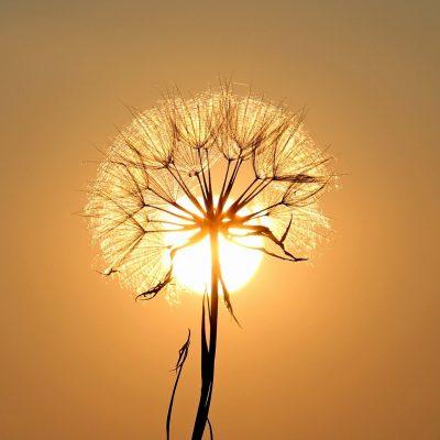 dandelion, sun, backlighting