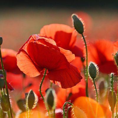 red, red poppy, poppy