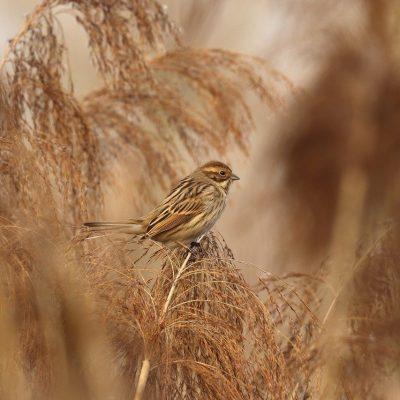 sparrow, bird, reed