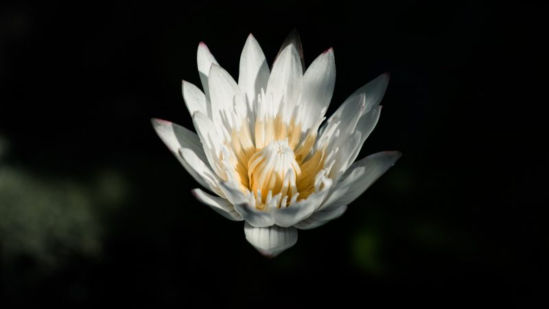 water lily, flower, plant